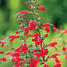 salvia flower summer salvia seeds
