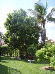 backyard with avocado tree and grasses growing avocado trees in