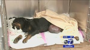 Queen S Dog Injured Rottweiler Euthanized After Being Tossed From Car In
