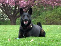 top 10 famous police dog breeds that are intelligent