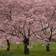 okame cherry blossom tree for sale the tree center