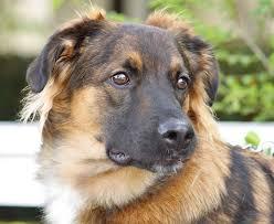 australian shepherd rottweiler mix puppies for sale australian german shepherd dog pinterest australian shepherd