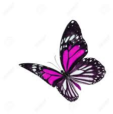 beautiful flying pink and stripe wings butterfly danaus melanippus