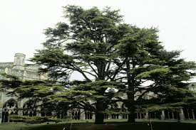 Lebanon Flag Tree Trees Planet Cedrus Libani U2013 Cedar Of Lebanon