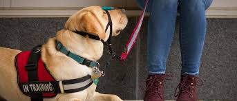 chc study guide paws for a cause chc student trains service dog on campus