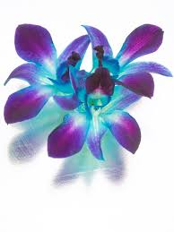 purple orchids blue and purple orchids royalty free stock images image 8207029