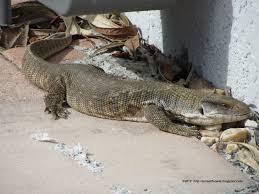 large wild monitor lizard in florida backyard youtube