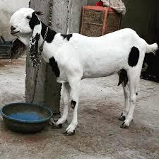 al hamd goat farm ltd home facebook