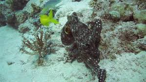 octopus collects stones to protect their home on the sea bottom