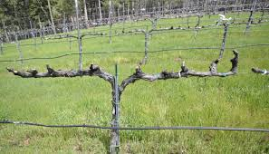 pergola grape vine trellis cool grape vine border u201a trendy diy