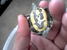 imagenes tortugas verdes tortugas verdes bebe milky way youtube
