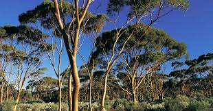 could planting 20 million trees increase drought australian