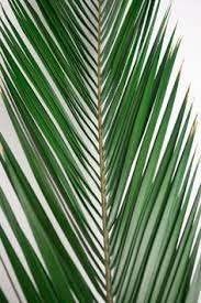 palm sunday palms for sale date leaf palm palm palm sunday easter ash ash wednesday lent