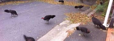 Turkey Memes - bush turkey memes for megapodiidae teens home facebook