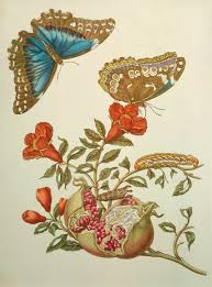 the amazing life and work of maria sibylla merian atlas obscura