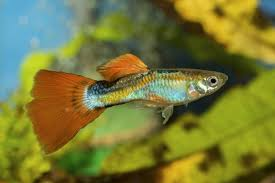 information about guppies