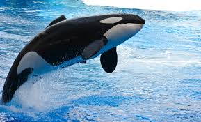 free jumping killer whale stock photo freeimages com