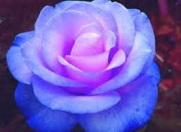 purple and blue flowers blue morris madysen on deviantart blue and purple roses