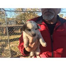 bluetick coonhound mix puppies bluetick walker hound mix 7 puppies left bluetick coonhound