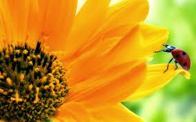 foto wallpaper bunga matahari image for wallpaper bunga matahari flo0129 flowers pinterest