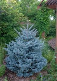 blue spruce montgomery colorado blue spruce grows only 4