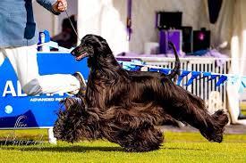 afghan hound grooming styles meet tea the afghan hound dubbed the u0027world u0027s prettiest dog