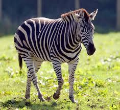 zebra u2013 fun facts u0026 information for kids