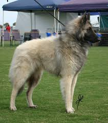 belgian shepherd qld lumineux great sothern wolf