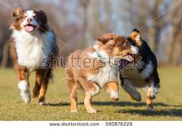 running with australian shepherd puppy portrait three australian shepherd dogs one stock photo 590876324
