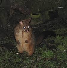 Possum In My Backyard Possums Compared To Opossums What U0027s The Difference