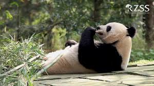 tian tian panda latest no baby today say zookeepers despite