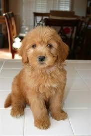 australian shepherd for sale los angeles photo gallery medium u0026 mini goldendoodle puppies for sale in los
