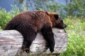 Alaska wildlife images Resting bear at alaska wildlife sanctuary outside of anchorage jpg