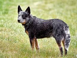 belgian shepherd gumtree australian stumpy tail cattle dog facts pictures price diet