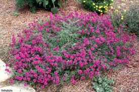 verbena flower verbena varieties to grow hgtv