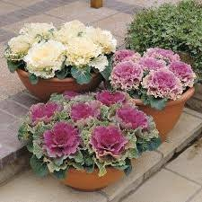 ornamental kale mixed colors brassica oleracea flower 5