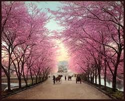 do you the meaning of cherry blossom allgamein
