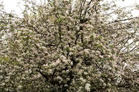 apple tree bloom wallpapers apple flowers tree flowers free nature pictures by forestwander