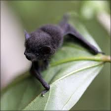 small bat black bat clinging to a leaf the belfry