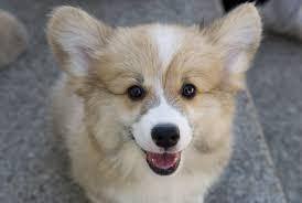 Do All Short Haired Dogs Shed by Do Pembroke Welsh Corgis Shed U2022 Bunkblog