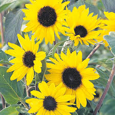 sunflower alchemy seeds from mr fothergill u0027s seeds and plants