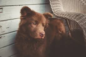 t jag s australian shepherds can u0027t decide if he u0027s a bear or a dog aww
