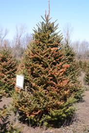 planting to harvest cycle of a fraser fir