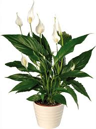 6 house plants that clean indoor air