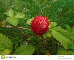 ornamental strawberry stock photo image 55945006