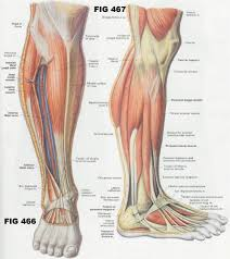 The Human Anatomy Muscles Muscle Of The Body U2013 Pamper Bay