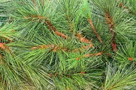 traditional green pine tree needles stock photo