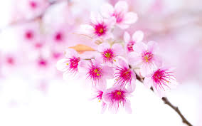 Flower Wallpaper Beautiful Sakura Flower Wallpaper Desktop H748881 Flowers Hd