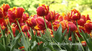 tulips flowers nederland tulips flowers bulbs a lot of beautiful and splendid