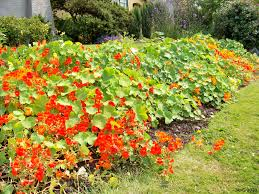nasturtium ground cover want to be able to indentify plants with